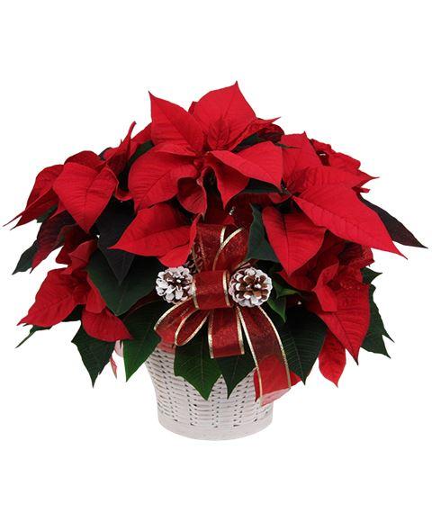 Regala Una Stella Di Natale Rossa Il Mio Fioraio Consegna La Pianta